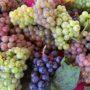 北海道のブドウ品種(GI生産基準登録品種)について
